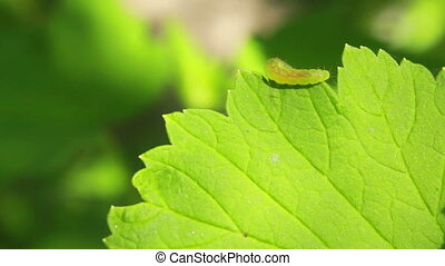 Worm on Leaves - caterpillar crawling on a green leaf