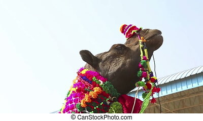 At the Pushkar camel fair - Camel covered with decorations...