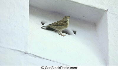 Sparrow sitting in the niche of the wall.