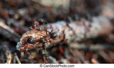A group of ants, working at their anthill