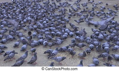 many pigeons in Jaipur square, Rajasthan, India
