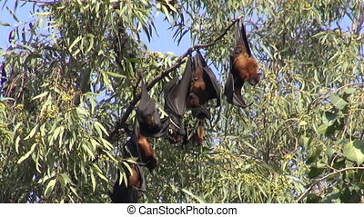flying fox %u2013 fruit bats in India