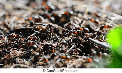 Anthill in the forest with many moving ants.