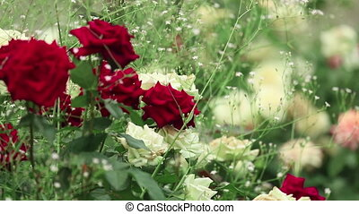 Roses - Red and white roses in the flowerbed.