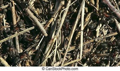 Ants nest - Ants at the ant nest Close-up