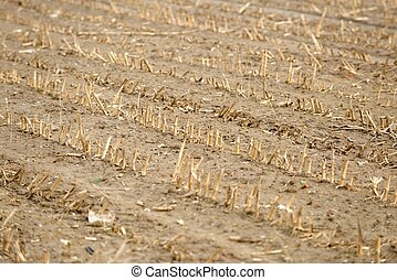 Dry cultivated land with dead plants