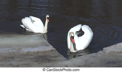 two white swans Cygnus olor on spring river ice