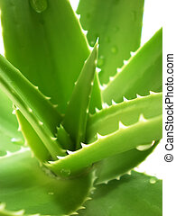 aloe vera close up on white background