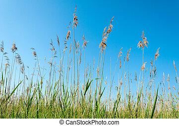 Seedy read - Seedy reed stalks and head