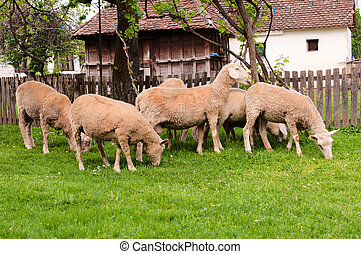 Group of sheeps