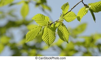 beech - young beech leaves in spring with a blue sky