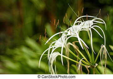 White Crinum flower in the blurry background in high...