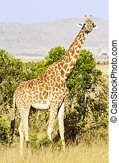 Maasai Mara Giraffe - Giraffe Giraffa camelopardalis on the...