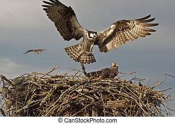 Osprey, falcão, aterragem