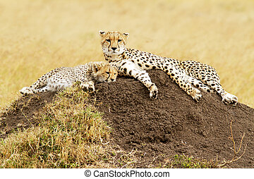 Masai Mara Cheetahs - A cheetah (Acinonyx jubatus) and...