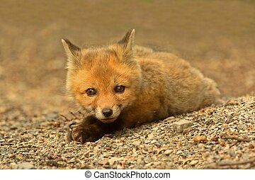 Red Fox Kit vulpes playing near the den
