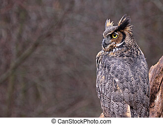 Great Horned Owl Copyspace - A Great Horned Owl Bubo...
