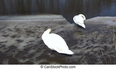 pair white swans on spring ice
