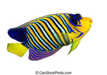 Royal angelfish Pygoplites diacanthus isolated on white...