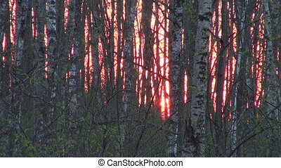 sunset in spring forest