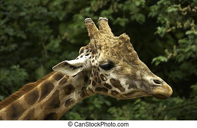 African Giraffe - Male giraffes are around 16-19 feet...