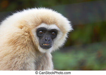 Black Faced Capuchin Monkey - This close-up shot was...