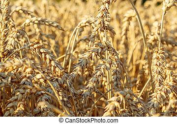 detail of wheat field