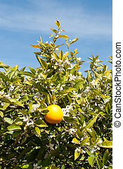 An Orange Tree in Full Spring Blossom - An orange tree, in...