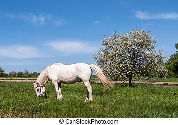 White horse grazing on the green lawn near Apple tree in...