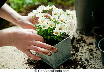 Planting flower - Hands planting white flower plant in metal...