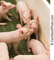 little pigs - Photo little piglets that feed on by big...