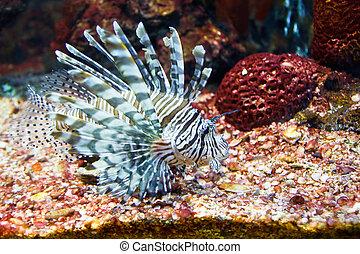 close up of poisonous lion fish - close up of poisonous lion...