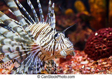 close up of poisonous lion fish