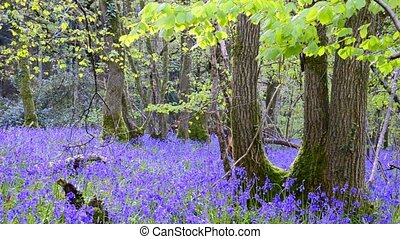 Bluebell Woods - An early spring morning in the heart of...