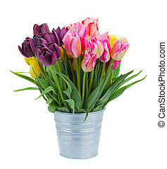 pink and violet tulip flowers in metal pot isolated on white...