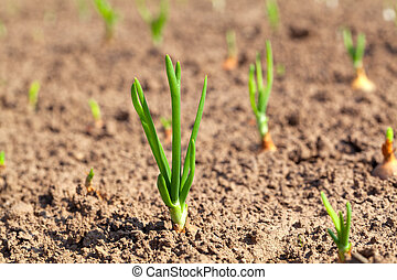Row of onions growing in soil