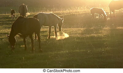 Horses in the early morning - Herd of horses grazing in a...