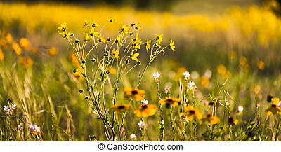 Texas Wildflowers - Sunflowers featured among a diverse...