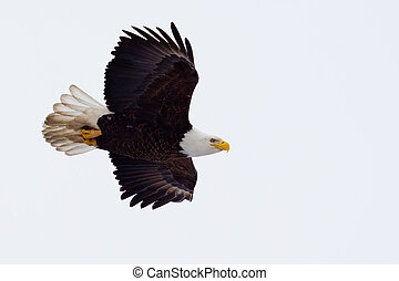American Bald Eagle flying against a blue sky