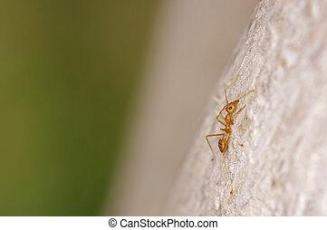 weaver ant is walking on the tree bark