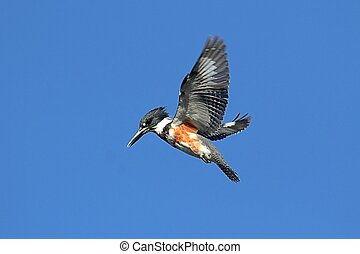 Belted Kingfisher (Ceryle alcyon) hunting for fish with a...