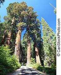 Giant Redwoods - Redwoods in the California mountains