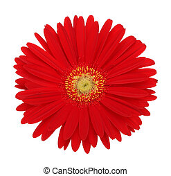 red gerbera flower