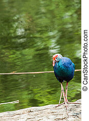 Endangered species Pukeko (Porphiro Porphiro) Gallinule