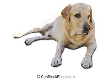 Labrador Retriever freigestellt