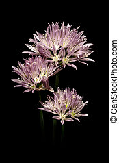 Purple onion flower on black background