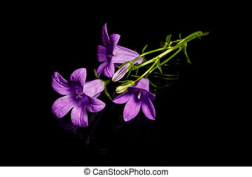 Bluebell flower campanula on black background