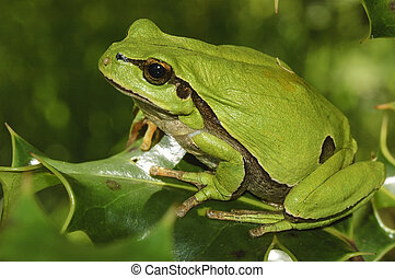 European tree frog (Hyla arborea) on a branch of holly