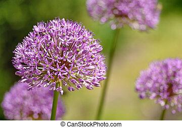 Purple flower of onion in garden