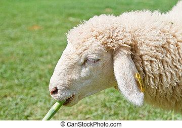 mouton, pâturage, champ
